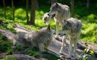 В Германии распространяются волки