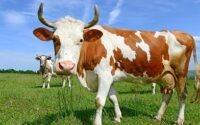 В Германии с коровы сняли обвинения в убийстве