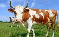 В Германии сокращается поголовье крупного рогатого скота